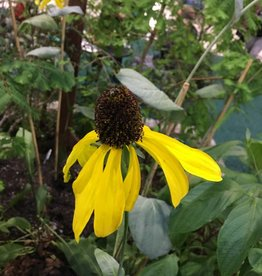 Rudbeckia Maximum