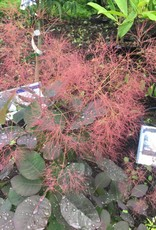 Cotinus coggygria Royal Purple Smokebush, Royal Purple, #3
