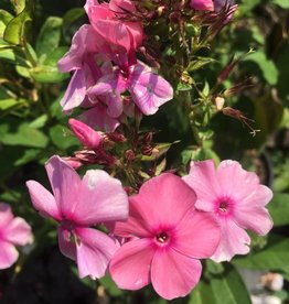 Phlox pan.  Sweet Summer fragrance Phlox - Garden,  #1