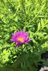 Aster dum. Wood's Purple Aster, Wood's Purple, #1