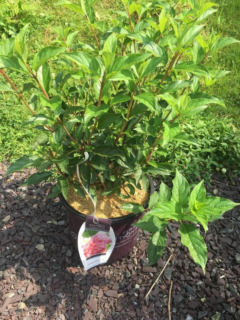 Hydrangea panic. Van Strawberry Hydrangea - Hardy, #3