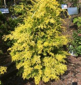 Chamaecyparis ob. Crippsi False Cypress, Yellow, #7