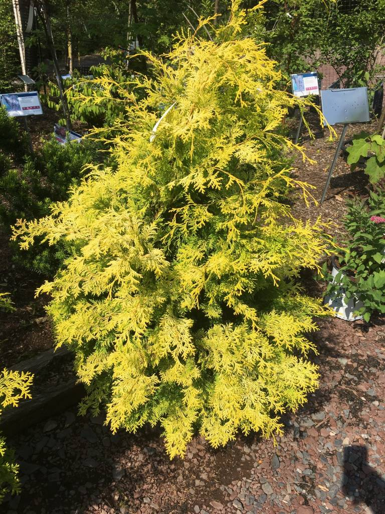 Chamaecyparis ob. Crippsi False Cypress, Yellow, #7