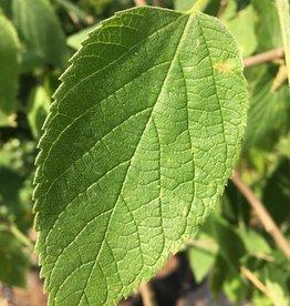 Celtis occidentalis Hackberry, #5