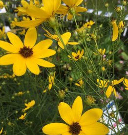 Coreopsis verticillata Gilded Lace Tickseed, #1