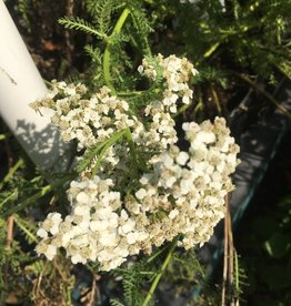 Achillea New Vintage White, Yarrow #1