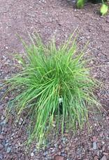 Seslaria autumnalis Grass - Autumn Moor, #1