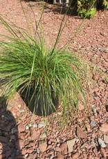 Sporobolus heterolepis Grass - Ornamental Prairie Dropseed, #1