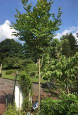 """Cladrastis kentukea Yellowwood, 2-2.5"""" cal b&b"""