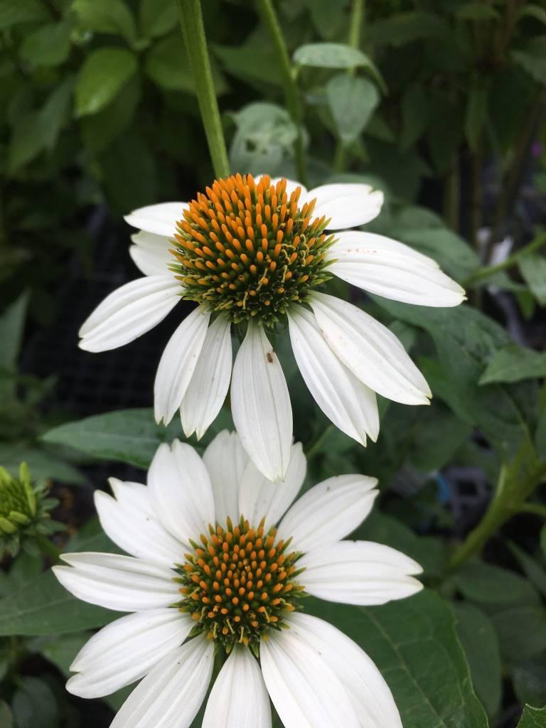 Echinacea pur. Pow wow White , Coneflower #1