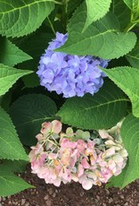 Hydrangea mac. Endless Summer Hydrangea - Mophead, Endless Summer, #5