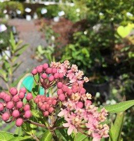 Asclepias syriaca Milkweed, Common, #1
