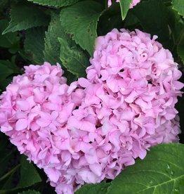 Hydrangea mac. Penny Mac Hydrangea - Mophead, Penny Mac, #3