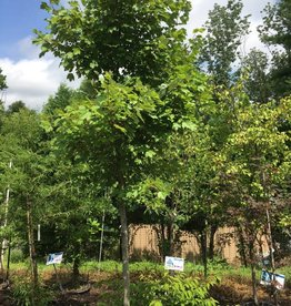 "Acer rubrum October Glory Maple - Red, October Glory, 2"" cal B&B"