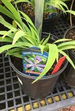 Iris cristata Eco Bluebird Iris, Eco Bluebird Dwarf Crested, #1