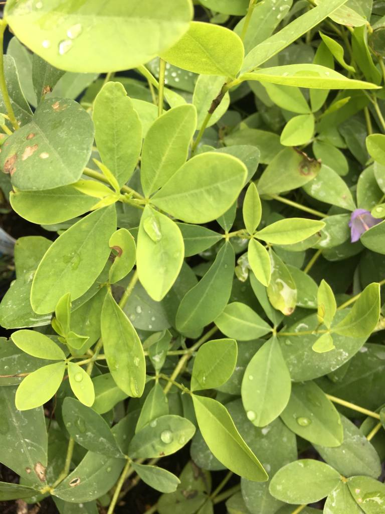 Baptisia Carolina Moonlight False Indigo, Carolina Moonlight, #1