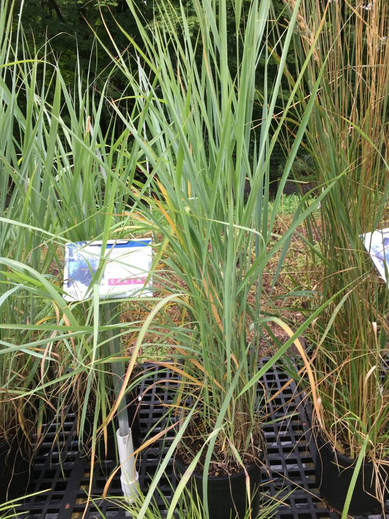 Sorghastrum nut. Grass - Ornamental Indian Grass, #1