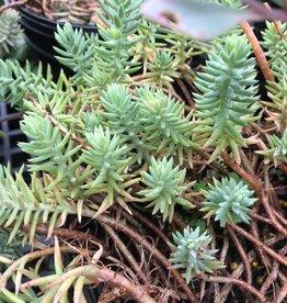 Sedum montanum ssp. orientale, Sedum #1 container