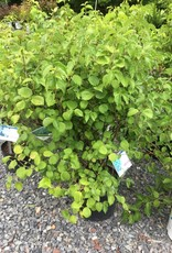 Nativar Shrub Viburnum den. Christom Viburnum - Arrowwood, Blue Muffin, #7