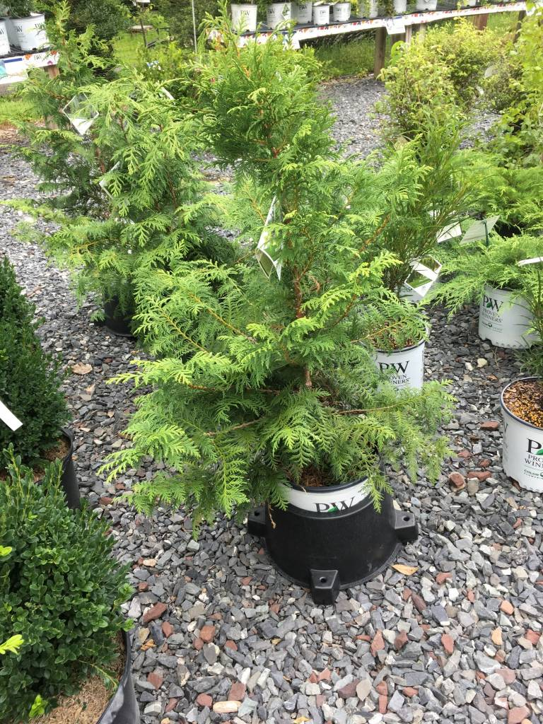 Chamaecyparis pis. Dow Whiting False Cypress, Soft Serve, #3