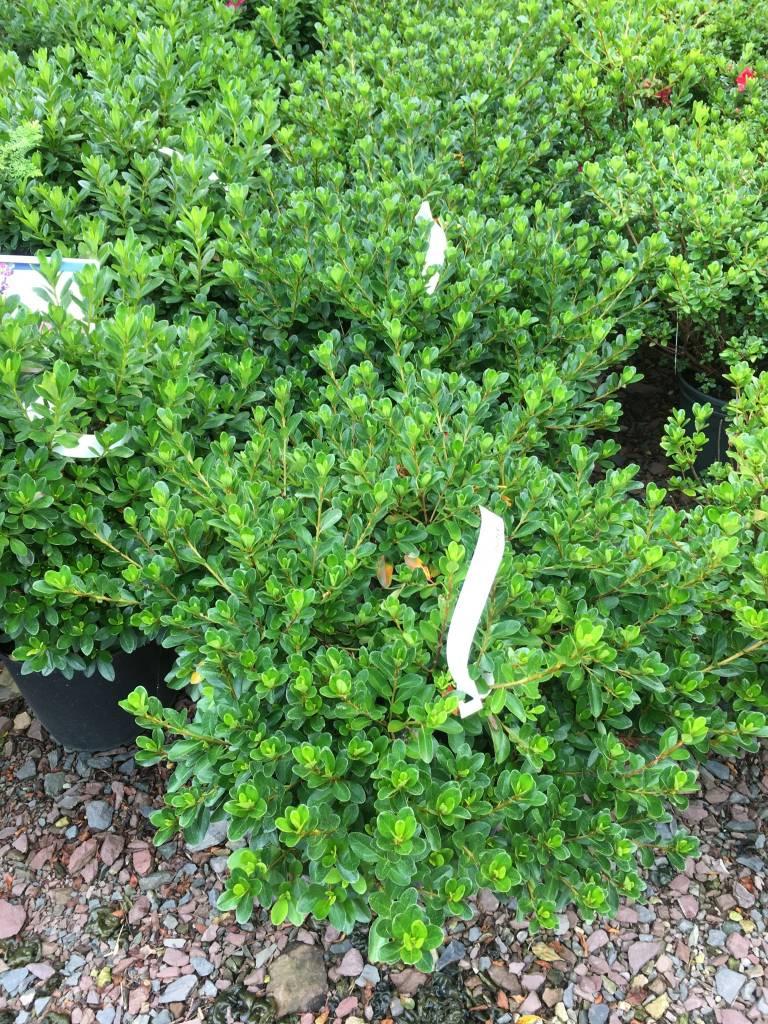 Azalea hybrids, Azalea, #3