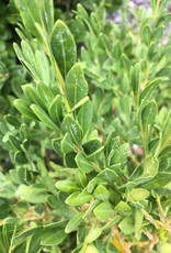 Buxus Green Gem Boxwood, Green Gem, #3
