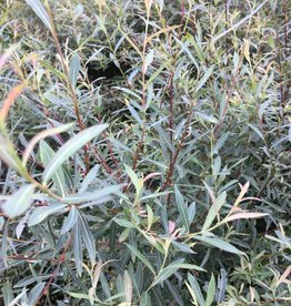 Salix pur. Nana Willow - Blue Artic, Dwarf; Purple Osier, #3