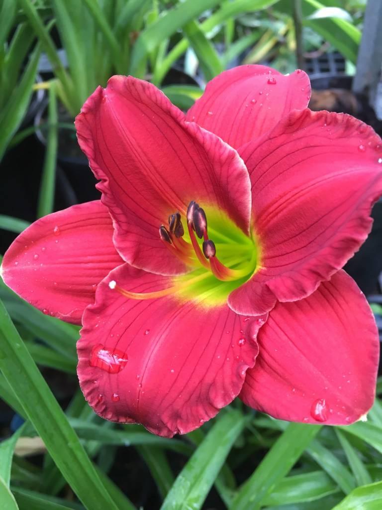 Hemerocallis Red Hot Returns Daylily, #1