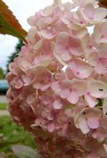 Hydrangea mac. Blushing Bride Hydrangea - Mophead, Endless Summer Blushing Bride, #3