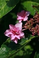 Hydrangea mac. Shamrock Hydrangea - Mophead, Shamrock, #3
