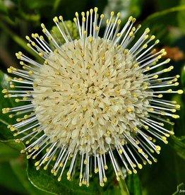 Cephalanthus occ.  Buttonbush, #3