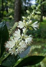 Clethra aln. Hummingbird Summersweet, Hummingbird, #3