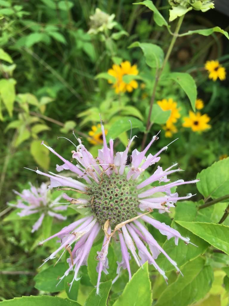 Monarda fistulosa Bergamot, Wild, #1