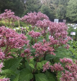 Eupatorium Phantom , Joe Pye Weed #1