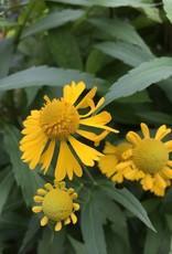 Helenium autumnale Sneezeweed, #1