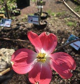 Cornus florida Cherokee Brave Dogwood - Flowering, Cherokee Brave, #7