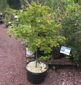 Acer shirasawanum Aureum Maple - Japanese Fullmoon, #15
