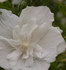 Hibiscus syr. White Chiffon, Rose of Sharon, Blue Chiffon, #3