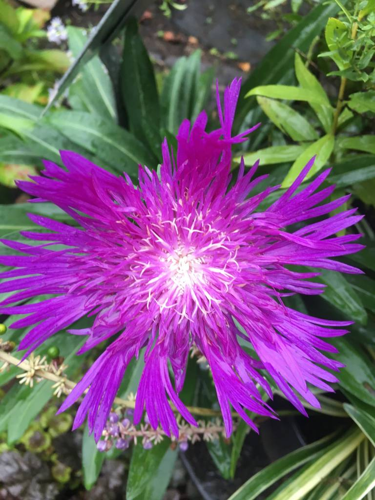 Stokesia Honeysong Purple, Stoke's Aster,  #1