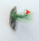 Mighty Twig Driftwood with Air plant - Small
