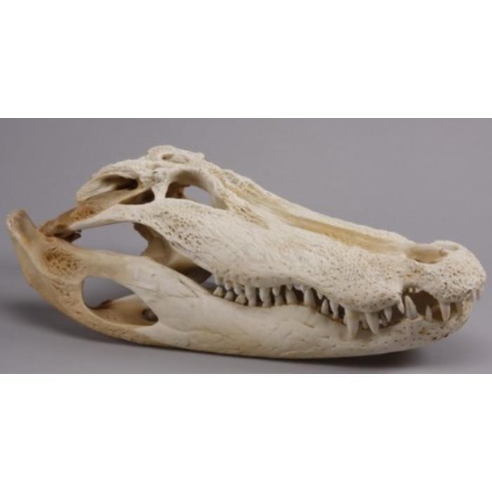 Bleached alligator skull
