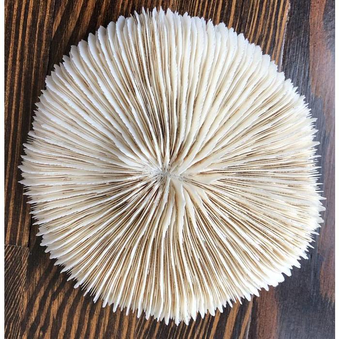 "Coral - mushroom coral 6""+"
