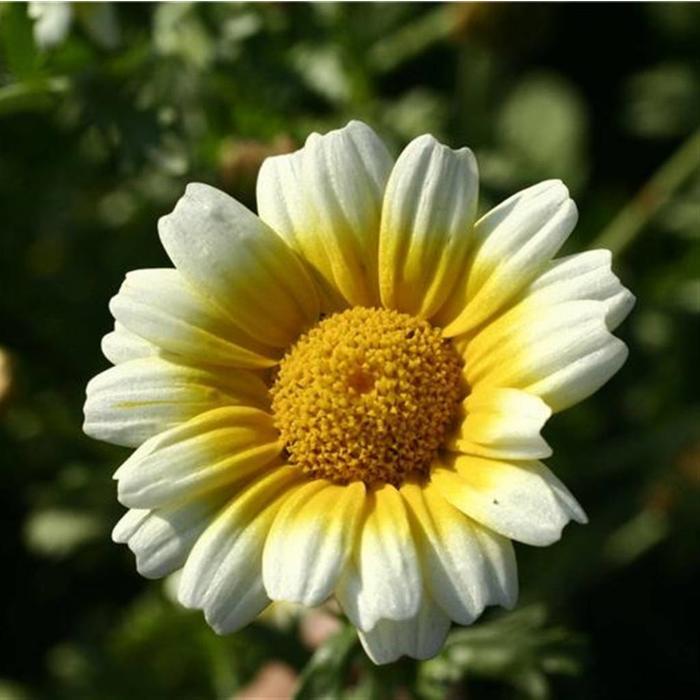 Chrysantheme comestible Shungiku