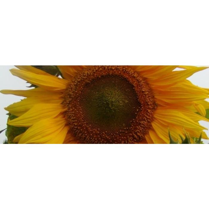 Tournesol Mammouth geant