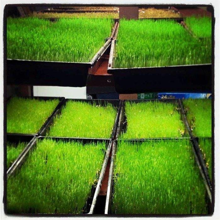 Plateau Herbe de blé