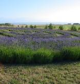 Lavender Wind Labyrinth Essential Oil - 10 ml.