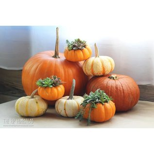 Little Miss Fancy Plants DIY Fancy Plants- Pumpkin Centrepiece Sept 29