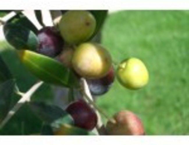Sous les oliviers Huile d'olive extra vierge ORGANIQUE Arbonasa de Californie