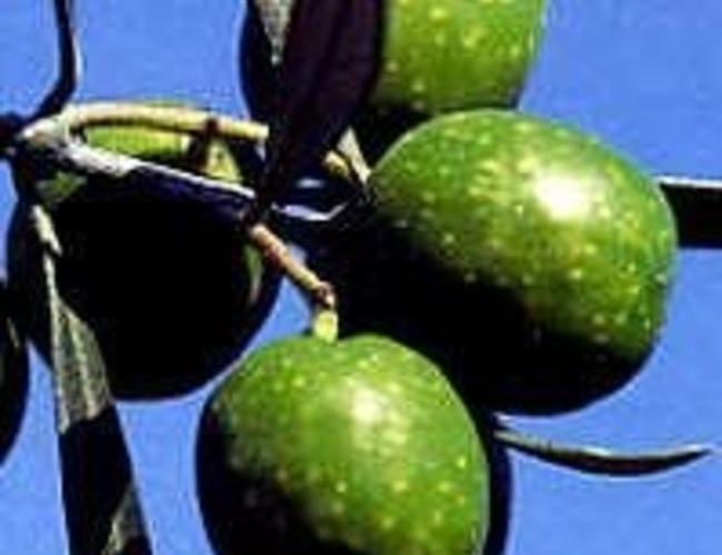Olivo vert latium italienne 250ml Biologique