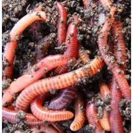 Newmans Red Wigglers (Trout Worms) 24ct